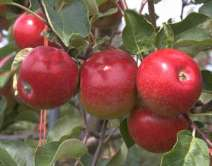 (B) Redsleeves Apple Trees