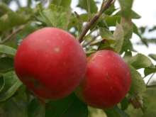(B) Red Windsor Apple Trees