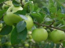 (B) Greensleeves Apple Trees