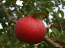 (A) Michaelmas Red Apple Trees