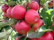 (B) Red Falstaff Apple Trees