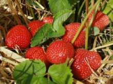Aromel Strawberry Plants