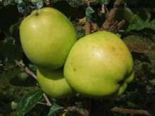(B) Keswick Codlin Apple Trees