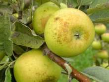 (B) Golden Pippin Apple Trees
