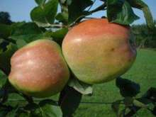 (B) Catshead Apple Trees