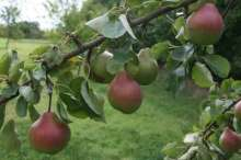 (T) Merton Pride Pear Trees