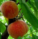 Royal George Peach Trees
