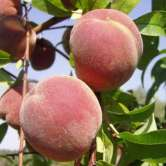 Dymond Peach Trees