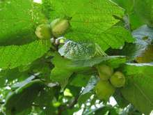 Gunslebert Cob Nut Bush
