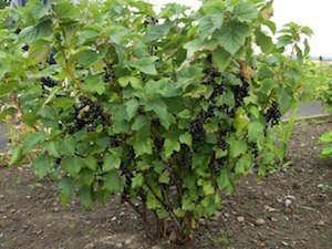 Blackcurrant Tree Images