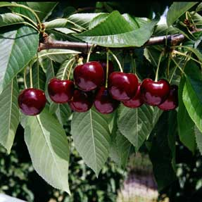 cherry tree in fruit