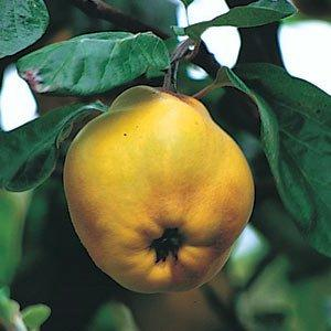 Quince Meeches Prolific