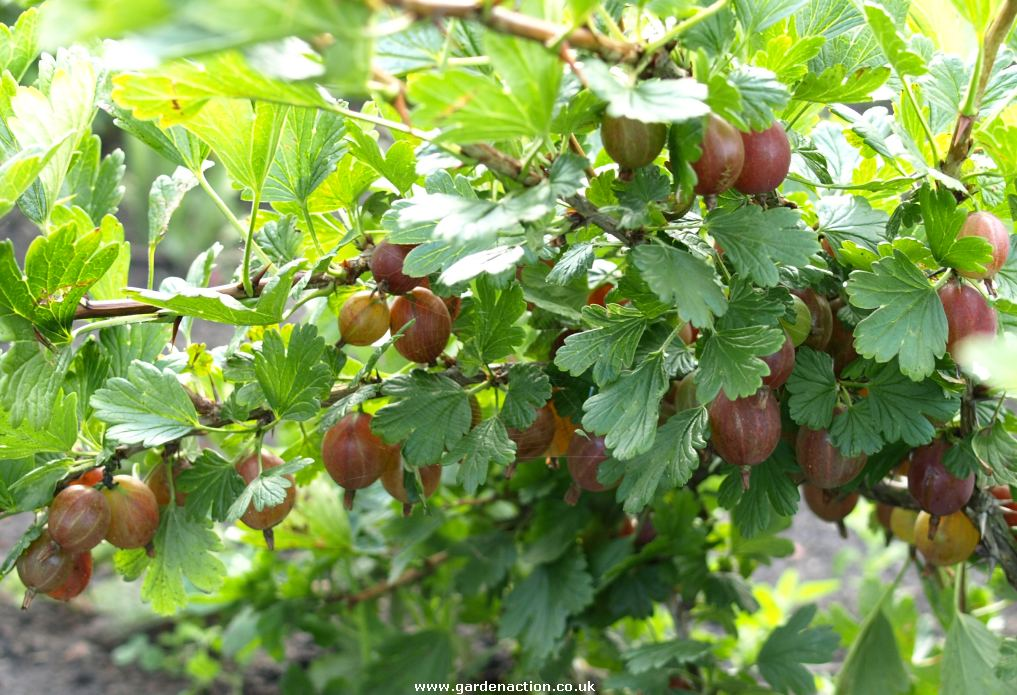 red gooseberry plant