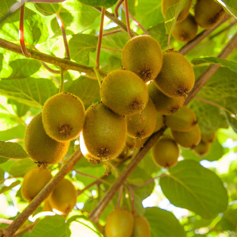 The Ultimate Guide To Growing Kiwi Fruit