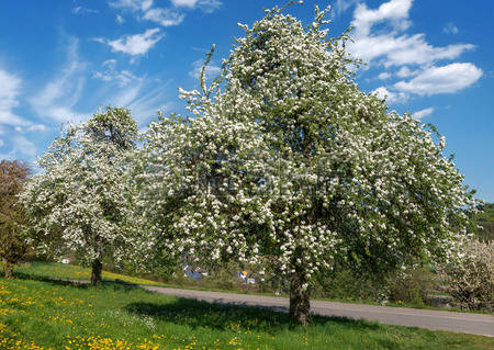 large pear tree orchard
