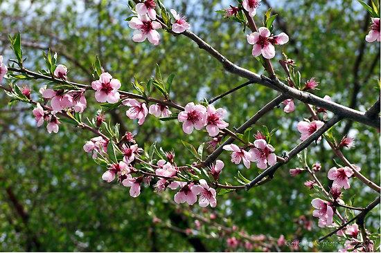 how to grow a peach tree from a stone uk
