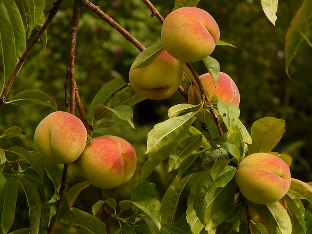 peach tree branch