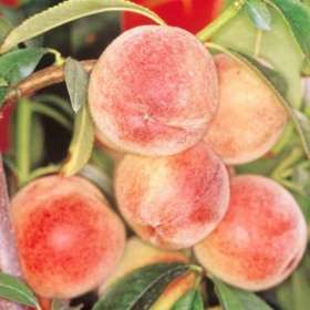 peregrine peach tree