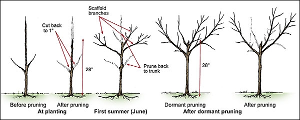 The Ultimate Guide To Fruit Trees Pruning Fruit Trees Chris Bowers
