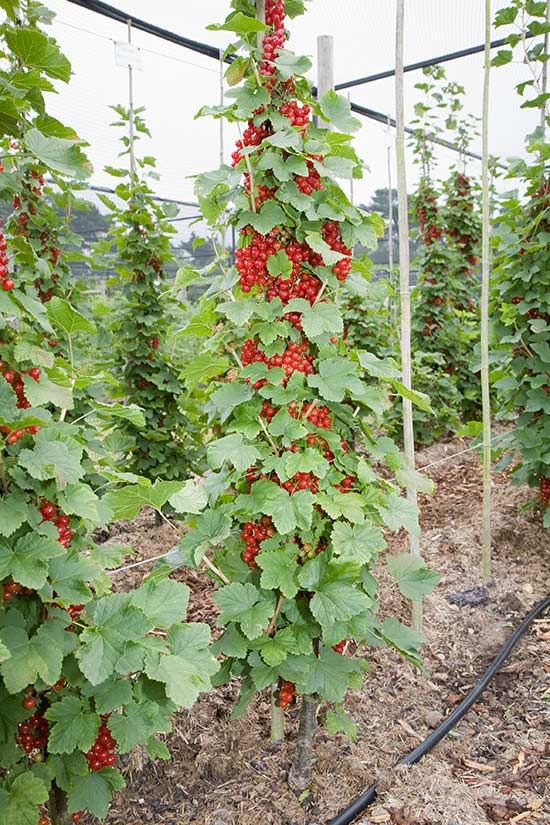 single cordon redcurrants