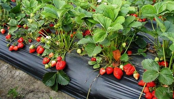 strawberry plant bed