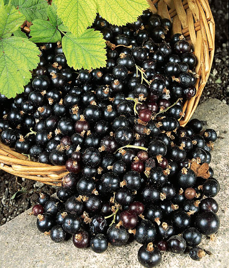 Pictures Of Blackcurrant Bushes