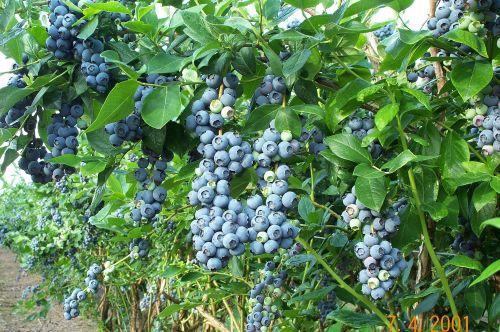 Heerma Blueberry Bushes Chris Bowers