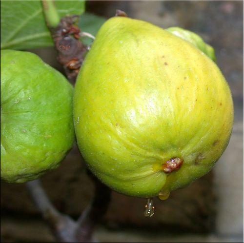 White Marseilles Fig Trees