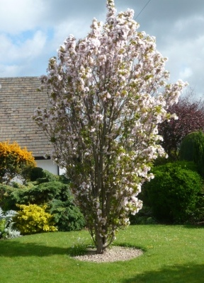 Spire Japanese Flowering Cherry Plants - Chris Bowers