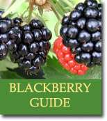 Buyers Guide for Blackberries