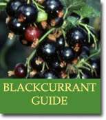 Buyers Guide for Blackcurrant Bushes