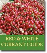 Buyers Guide for Whitecurrants