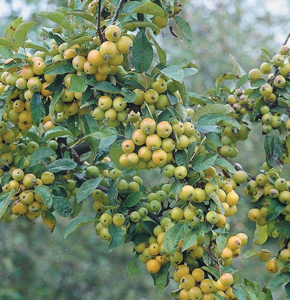 Golden Gem Crab Apple Trees - Chris Bowers