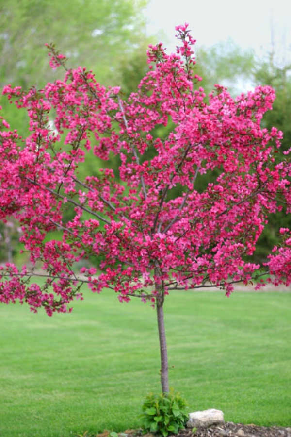 Prairie fire crab apple trees chris bowers for Crabapple tree