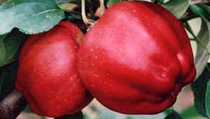 Apple trees - Connoisseurs & Heirloom