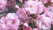 Japanese Flowering Cherries