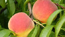 Peaches, Nectarines & Saturne