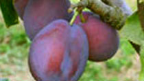 View our Plum Trees