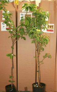Fruit Trees by Post