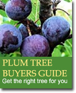 Buyers Guide for Plums