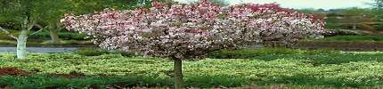 Coral Burst Crab Apple Trees