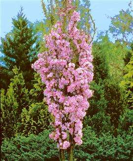 Amanagowa Japanese Flowering Cherry Plants