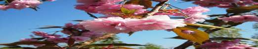 Candy Floss Japanese Flowering Cherry Plants