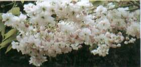 Pink Perfection Japanese Flowering Cherry Plants