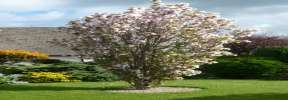 Spire Japanese Flowering Cherry Plants