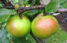 stepover apple tree Bramleys Seedling