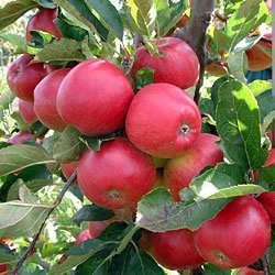 Stepover Apple Tree Red Falstaff