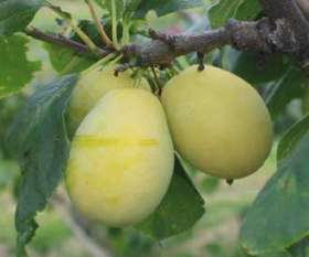 Stepover Greengage Tree Oullins