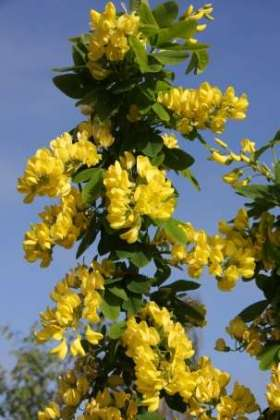 Laburnum 'Yellow Rocket' Space saving