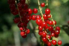 Red Currant - Red Lake